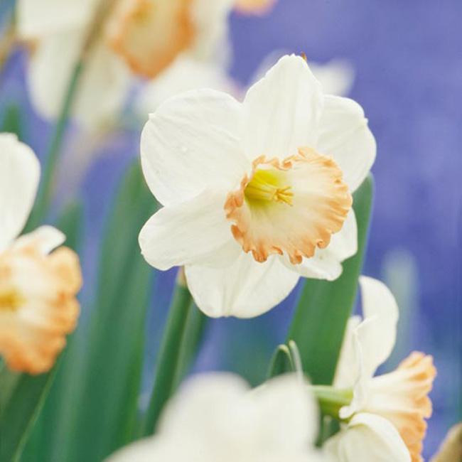 """Hoa thuỷ tiên """"Pink Charm"""". Bên cạnh những màu vàng, trắng và cam mà thông thường mà ta vẫn thấy, hoa thuỷ tiên cũng có những màu hồng và màu đào đầy tinh tế như """"Pink Charm"""", bông hoa có nét đặc biệt với những cánh hoa màu trắng và đài hoa màu ngà trải rộng ra và có viên quanh với màu hồng như san hô.  Tên khoa học: Narcissus 'Pink Charm'"""