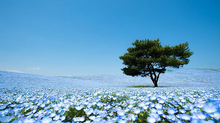 Bạn có dám tin điều này không, đây hoàn toàn là một cánh đồng hoa có thật chứ không phải trong câu chuyện cổ tích. Giấc mơ hiện lên một cách sinh động qua những bức ảnh được chụp tại một công viên nằm ở Hitashi, Nhật Bản.