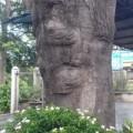 Tin tức - Giải mã hiện tượng mặt người hiện trên thân cây cổ thụ