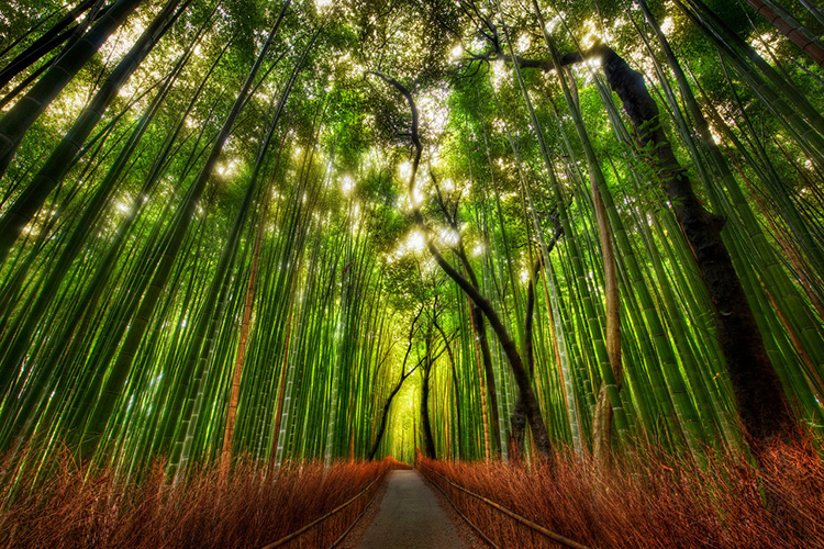 Rừng trúc ở Kyoto, Nhật Bản.
