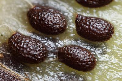 trong kiwi trong chau: mat nha ma suong mieng - 2
