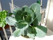 Nhà đẹp - Trồng bắp cải trong thùng xốp cho rau ăn ngon ngọt