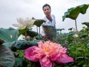 Nhà đẹp - Đầm sen Quan Âm độc nhất vô nhị ở Hà Nội