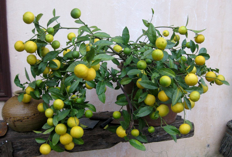 Kỹ thuật trồng các loại cây ăn quả  trong nhà