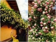 Nhà đẹp - Mẹ Việt của vườn hồng triệu bông mách cách trồng hoa 'lên như nấm'