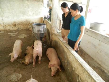 Lợn chết như ngả rạ sau bão, giá lợn miền Trung sẽ tăng?