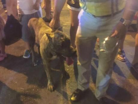 Dắt chó dữ đi dạo giữa phố trung thu, khi bị nhắc nhở, nam thanh niên trả lời ráo hoảnh