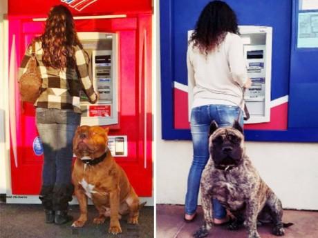 """Cười ngất với biểu cảm của lũ chó khi canh cho chủ rút tiền: """"Rút gì lâu dữ anh ơi!"""""""