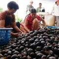 Tin tức - Cấm nuôi ốc bươu vàng vì dịch hại
