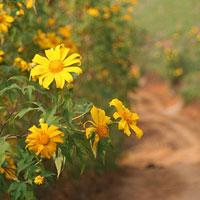 Ba Vì rực rỡ mùa dã quỳ vàng