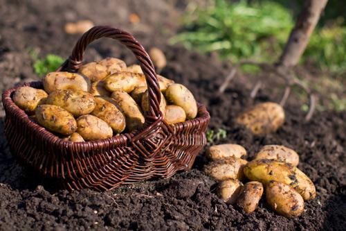 Kết quả hình ảnh cho khoai tây