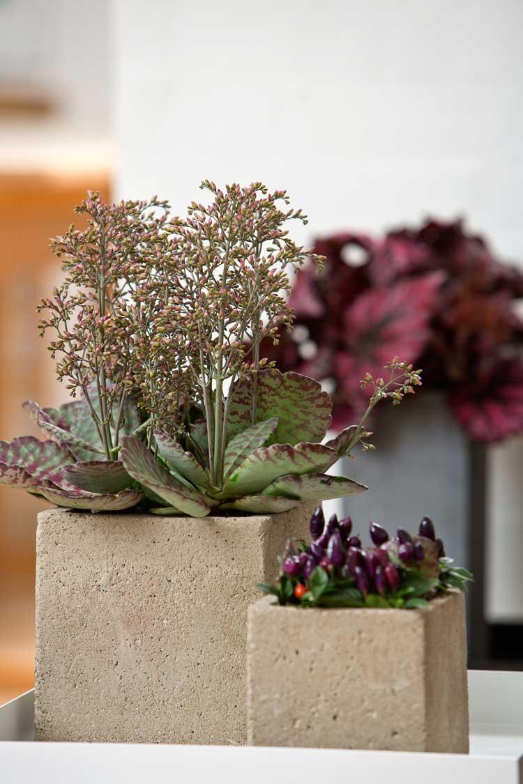 2. Cây sống đời  Cây sống đời còn có tên gọi khác nhau như cây lá bỏng, cây hoa bỏng..., là một loại cây khá phổ biến ở Việt Nam.  Cây sống đời có nhiều loại như: sống đời tơ (bông lồng đèn), sống đời Đà Lạt, sống đời đỏ (bông nhuyễn, đỏ thẫm ra hoa tập trung vào dịp Tết), sống đời 5 màu (sống đời Thái)...  Cây sống đời là loại cây dễ trồng, có thể trồng được bằng cây con hoặc bằng lá. Theo đông y, cây sống đời có thể chữa trị rất nhiều bệnh như viêm họng, mất sữa, mất ngủ, viêm xoang mũi, lá cây sống đời có thể cầm máu rất tốt...  Như vậy, trồng một chậu cảnh sống đời vừa có tác dụng trang trí, làm đẹp cho ngôi nhà, vừa có một phương thuốc đông y tiện dụng.