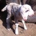 Chuyện lạ - Kỳ lạ chú cừu 2 đầu mới sinh ở Trung Quốc
