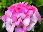 Nhà đẹp - Cách trồng và chăm sóc phong lữ thảo cho đông ấm áp