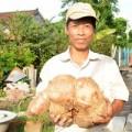 Chuyện lạ - Đào được củ khoai mì nặng gần 8kg