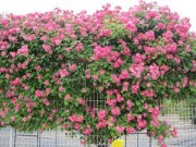Nhà đẹp - Hồng leo đắt đỏ chinh phục giới yêu hoa