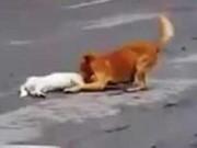 Clip Eva - Video: Chú chó kéo bạn bị xe đâm vào lề đường