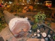 Tin hot - HN: Cuối năm 2015 sẽ chặt hạ cây xanh trên đường Kim Mã