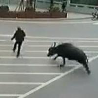 Trâu điên đuổi người trên phố