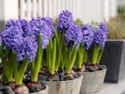 Cây cảnh - Vườn - Trồng hoa Tiên Ông không khó, mang an khang đến nhà