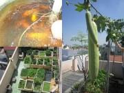 Cây cảnh - Vườn - TP.HCM: Cá tung tăng, rau xanh mướt trên nóc nhà 20m2