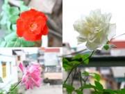 Cây cảnh - Vườn - Cô giáo Tiếng Anh đam mê trồng hoa hồng rực rỡ