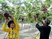 Mua sắm - Giá cả - Ninh Thuận: Người trồng nho không có lãi