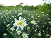 Tin tức - Hà Nội đẹp tinh khôi mùa hoa cúc họa mi