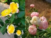 Nhà đẹp - Ngợp trời vườn hồng ngoại trong phố trên đất Cảng