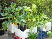 Nhà đẹp - Cách trồng rau sạch trong thùng xốp cho mẹ bỉm sữa