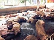 Hà Nội: Thủ đoạn mới đưa chất cấm vào nuôi lợn