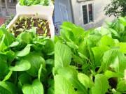 Nhà đẹp - HN: Ghen tị vườn rau sạch kín lan can của cô nàng 9x