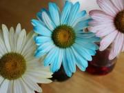 Nhà đẹp - Bí quyết nhuộm màu cho hoa cúc trắng cực nhanh