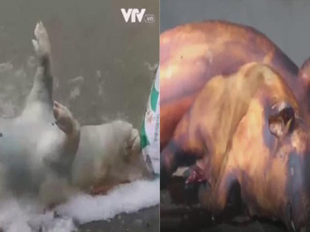 Lợn chết bốc mùi giá 200.000 đồng/con được phù phép thành đặc sản thịt lợn mán