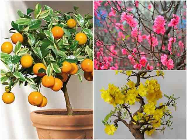 Ý nghĩa của 3 loại cây cảnh đào, quất, mai thường được dùng trong dịp Tết