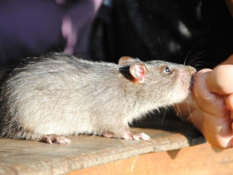 Bị chuột cắn bệnh nhân phải nhập viện cấp cứu