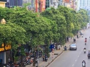 """""""Hoa sữa phải trồng cách 50m, Hà Nội 2-3m lại thấy một cây, người dân khiếp sợ là phải"""""""
