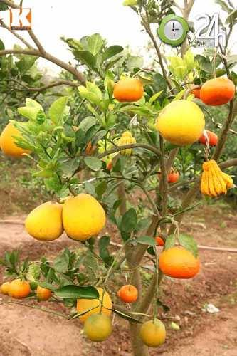Kỳ lạ 1 cây cho 5 loại quả khác nhau-1