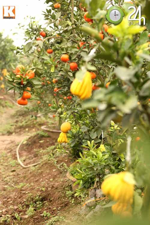 Kỳ lạ 1 cây cho 5 loại quả khác nhau-3