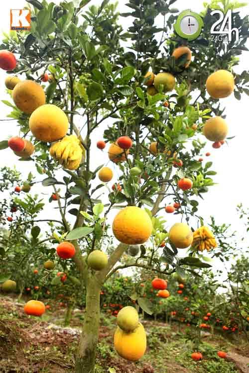 Kỳ lạ 1 cây cho 5 loại quả khác nhau-4