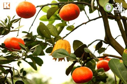 Kỳ lạ 1 cây cho 5 loại quả khác nhau-5