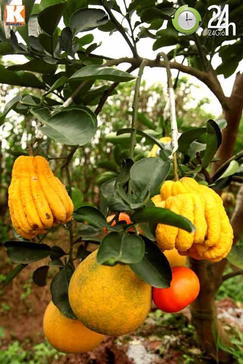Kỳ lạ 1 cây cho 5 loại quả khác nhau-6