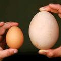 Sức khỏe - Trứng ngỗng hay trứng gà bổ hơn?