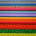 Xem & Đọc - Mê hồn với những đồng hoa Hà Lan từ trên cao