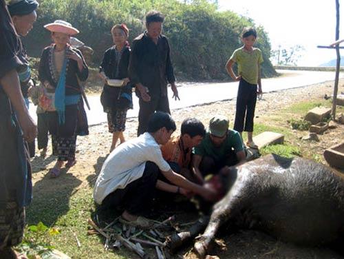 lao cai: da co 444 con gia suc bi chet ret - 1