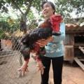 Mua sắm - Giá cả - Cận cảnh gà Đông Tảo có giá 17 triệu đồng