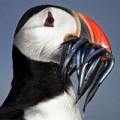 Tin tức - Ảnh động vật: Sát thủ diệt cá biển sau buổi đi săn
