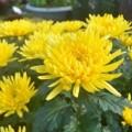 Mua sắm - Giá cả - Mai, quất vắng khách, hoa rẻ tiền lên ngôi