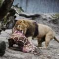 Tin tức - Phẫn nộ vườn thú xả thịt hươu cho sư tử ăn