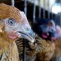 Malaysia xác nhận ca nhiễm cúm H7N9 đầu tiên